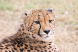 Cheetah, my favorite animal